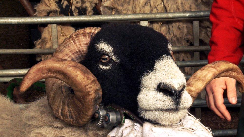 Addicted to Sheep (2015)