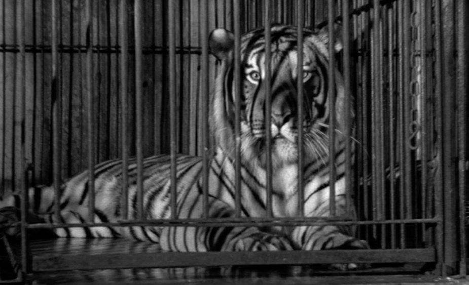 One of the film's most memorable scenes: Balthazar's encounters with caged circus animals, including a tiger, a chimpanzee and an elephant…