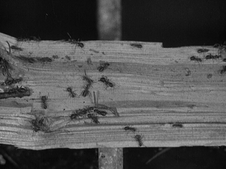 The Battle of the Ants (1922)