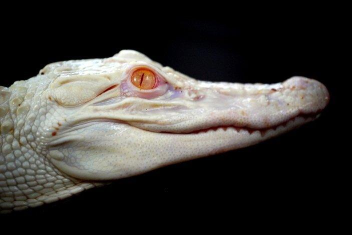 An albino crocodile in Cave of Forgotten Dreams (2011)
