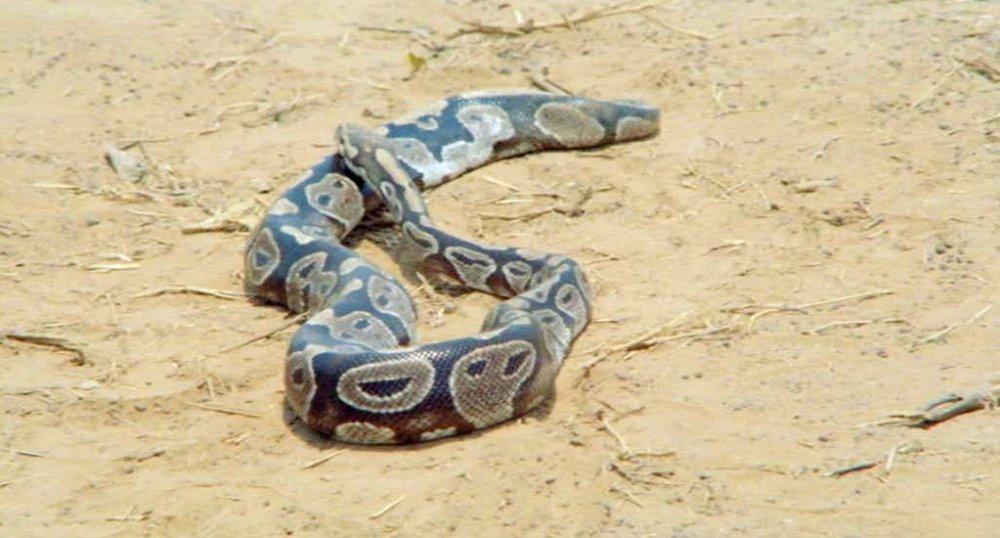 A deadly snake in Cobra Verde (1987)