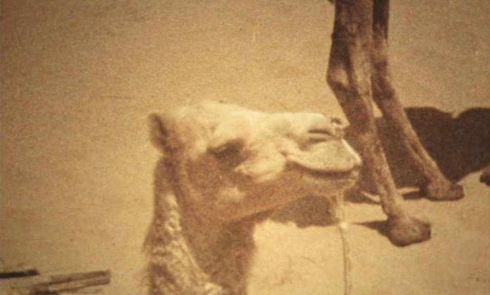 A camel in the dream sequence at the end of The Enigma of Kaspar Hauser (1974)