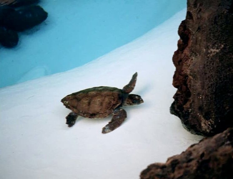 A turtle in Fata Morgana (1971)