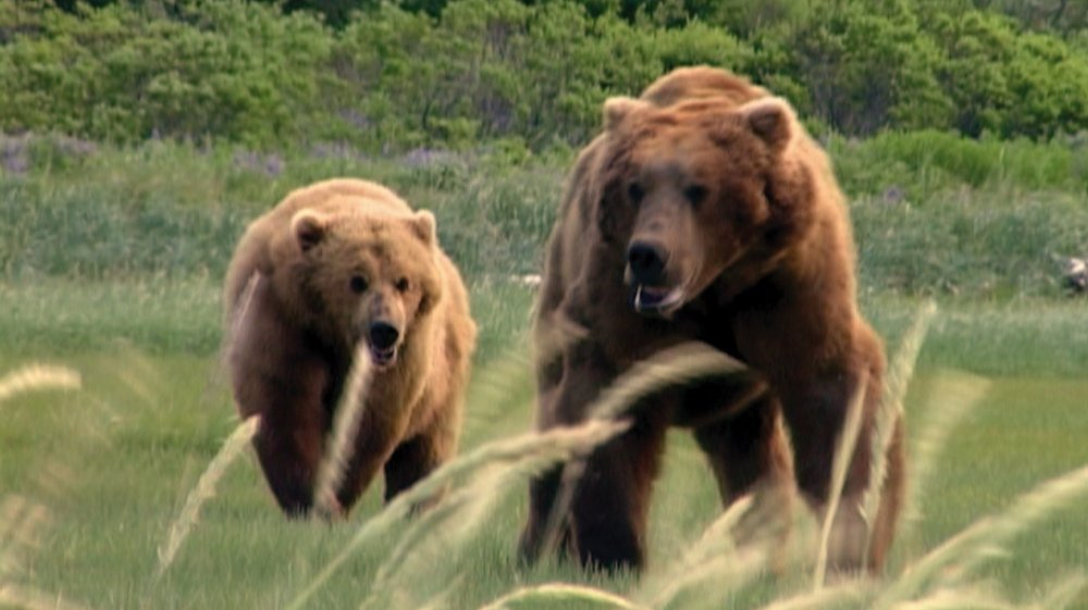 Grizzly bears in Grizzly Man (2005)