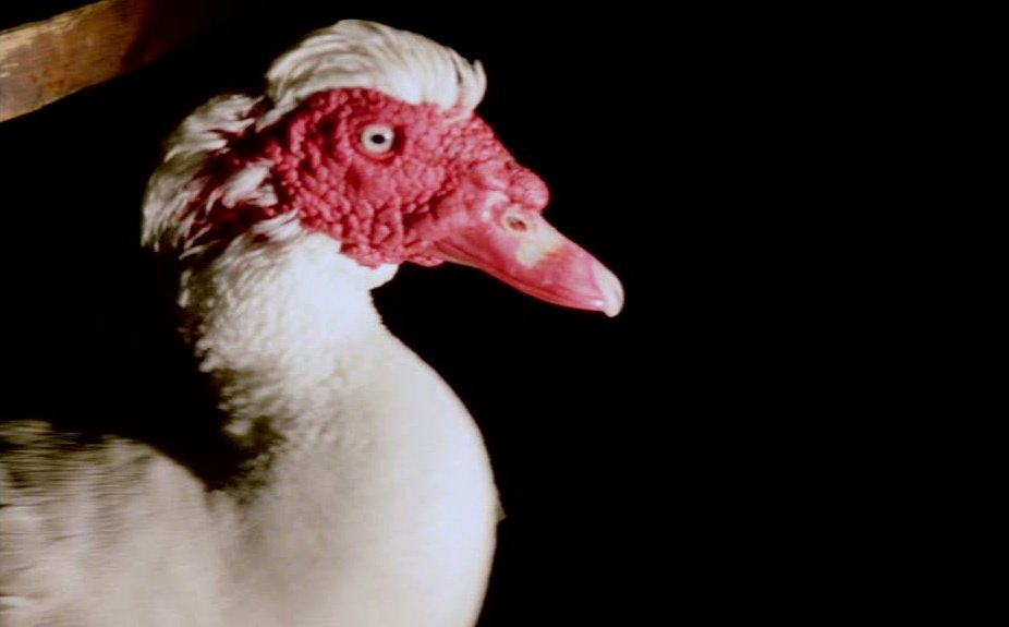 A Muscovy duck in Heart of Glass (1976)