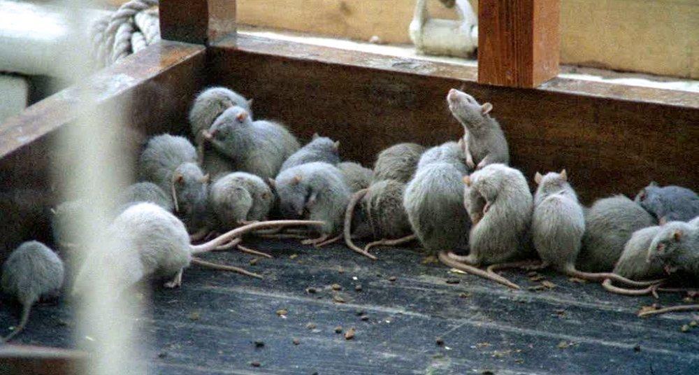 The plague of rats in Nosferatu the Vampyre (1979)