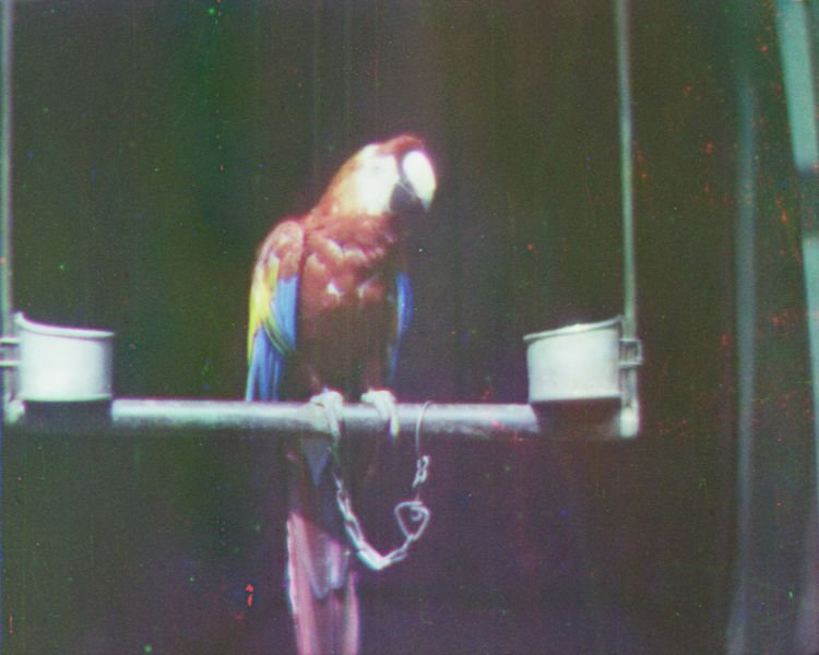 Film still: Scarlet Macaw on perch